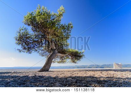 Pine tree on beach; solitaire tree isolated