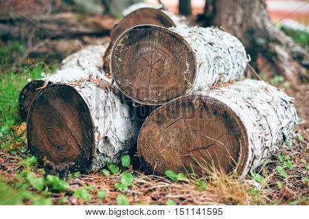 Birch tree wood logs cut on the ground