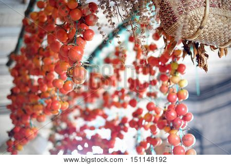 Catalan/Spanish Hanging Red Vine Tomatoes with basket