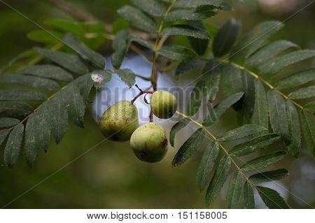 Green fruits of a service tree (Sorbus domestica L.)