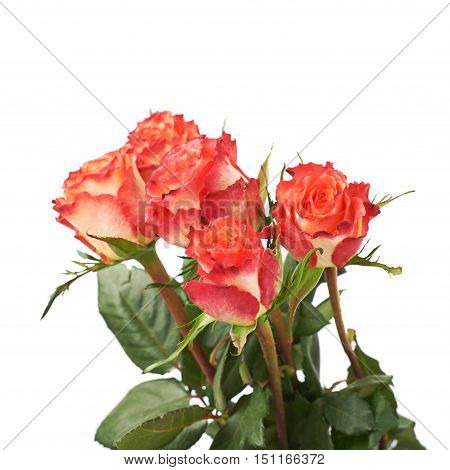 Fresh red pink roses over the white isolated background