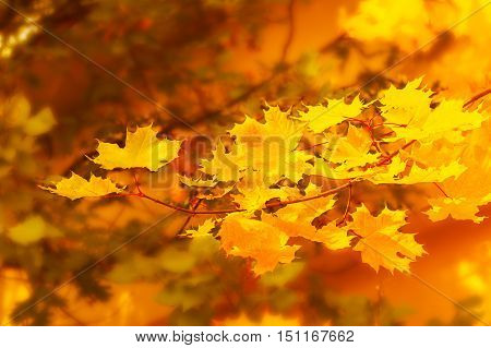 Autumnal maple branch on golden fall background . Fall leaves background.