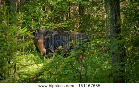 Bull Moose standing amidst the greenery of the forest.