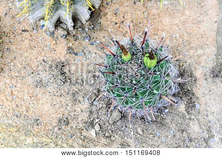 cactus in desert cactus tropical of botanical