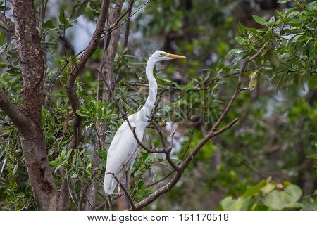 Intermediate Egret In Nature
