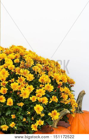 Chrysanthemum and pumpkins with white copy space.-1.jpg