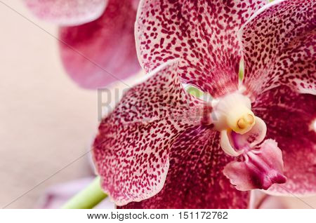 Beautiful pink purple Orchid, Vanda hybrids in nature