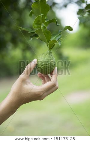 Woman hand holding a bergamot on tree