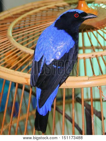 pet male Asian Fairy-bluebird perching on top of handmade bamboo cage, Songkhla, Thailand