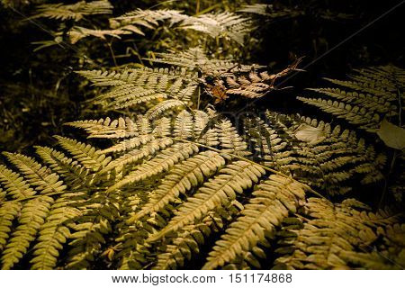 Close Up of Dry Yellow Autumn Fern Leaves on Foreground