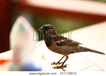 Nature, animal, fauna, bird, Sparrow, Fringilla domestica, the kind of real sparrows, Passer, a family of passerine birds, Passeridae
