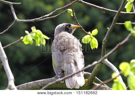 Fledgling miner bird sitting on a tree branch