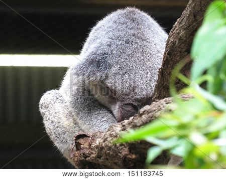 Australian koala marsupial animal asleep in a gum tree