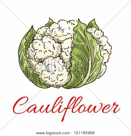 Cauliflower vegetable icon. Isolated leafy cauliflower. Vegetarian fresh food ingredient emblem for sticker, grocery shop, farm store element