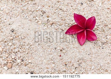 Red Plumeria on the sand frangipani tropical flowers. Plumeria acuminata Aiton or West Indian Red Jasmine.