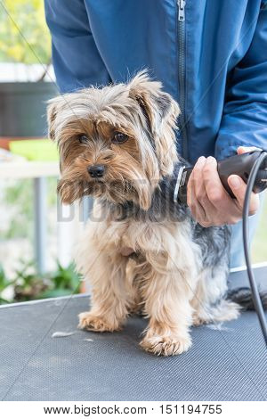 Groomer is cutting Yorkshire terrier by electric razor. Dog is standing on the grooming table and is looking at the camera¨.