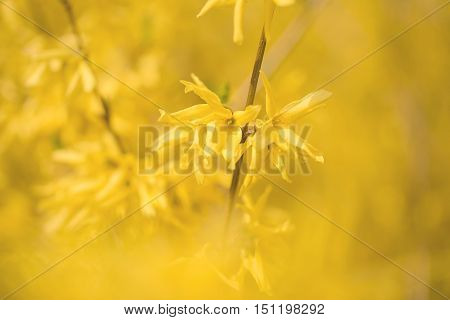Closeup photo of forsythias flowers in spring