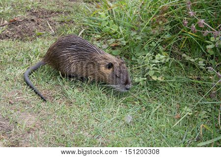 Coypu (myocastor Coypus), Known As The Nutria (ragondin In French)