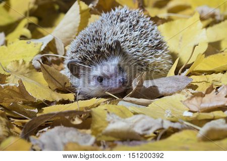 African pygmy hedgehog Erinaceus albiventris in the autumn yellow leafage