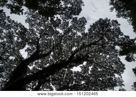 Longevity large camphor tree with bough in front of green forest