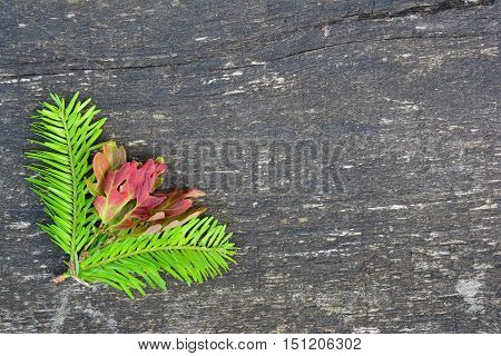 Fir twigs and oak leaves background young light green fir twigs and red oak leaves on old oak tree plank with copy space