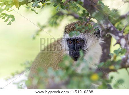 Vervet monkey (Chlorocebus pygerythrus) closeup sitting on a branch in the Ngorongoro Crater, national park Tanzania.