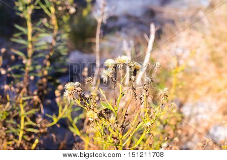 orange thistle plants in autumn or fall light