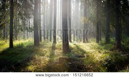 Pine forest with bright sunlight behind the trees.