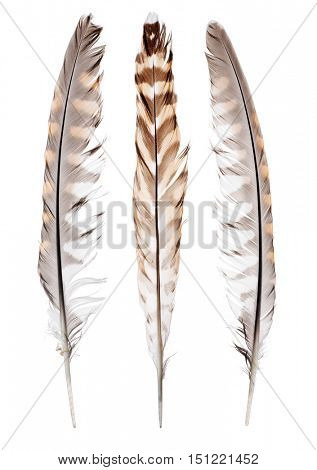 variegated falcon feathers isolated on white background