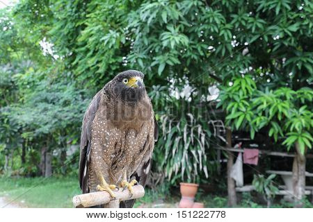 Falcon Peregrine or golden eagle beautiful select focus shallow depth of field.