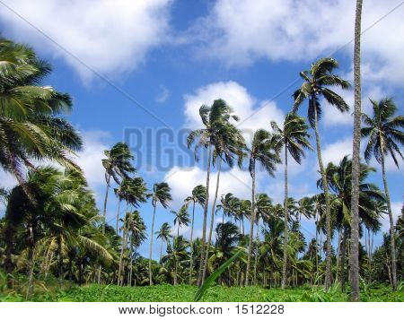 Coconut Plantation Tongatapu Tonga