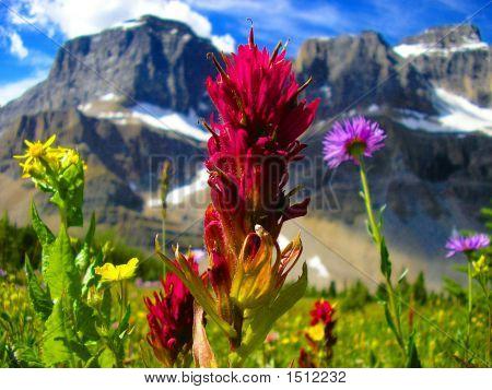 Wildflowers In Molar Meadows Banff National Park Canada