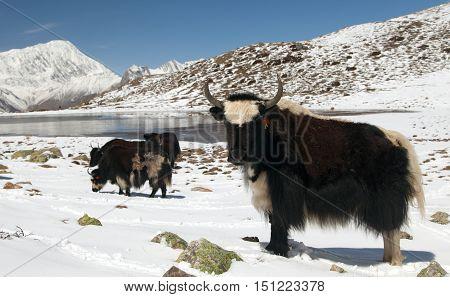 Herd of yaks on snow in Annapurna Area near Ice lake (Kicho Tal) Annapurna range Nepal