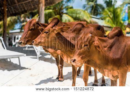 beautiful brown cows on african beach with palms and houses on the background, Zanzibar