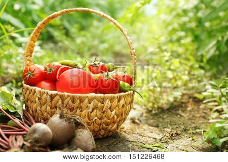 Freshly picked beetroots and tomatoes in a basket on natural background
