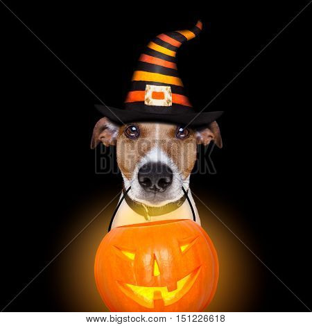 Halloween Pumpkin Dog Isolated On Black