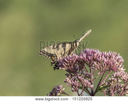 Eastern tiger swallowtail Papilio glaucus is a species of swallowtail butterfly native to eastern North America