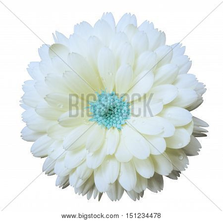 white flower calendula. white isolated background with clipping path. Nature. Closeup no shadows. Flower blue center. with dew.