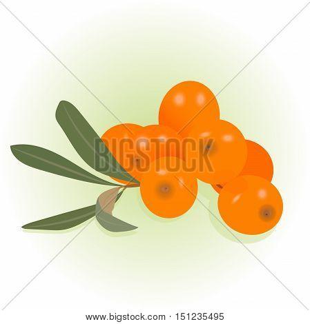 high quality original trendy realistic vector buck thorn illustration