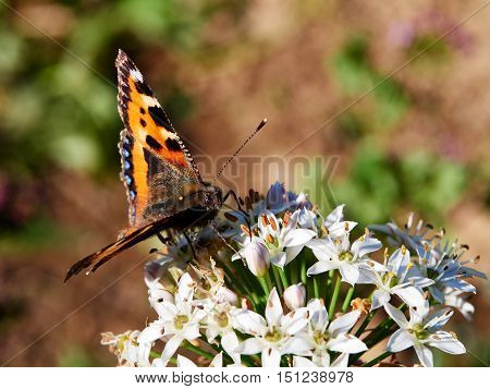 Close up of the small tortoiseshell butterfly (Aglais urticae L.) is common in Europe and Asia; here it is feeding on nectar from the open garlic chive flower.
