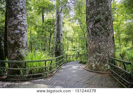 Hike Trail Through Tall New Zealand Trees Forest