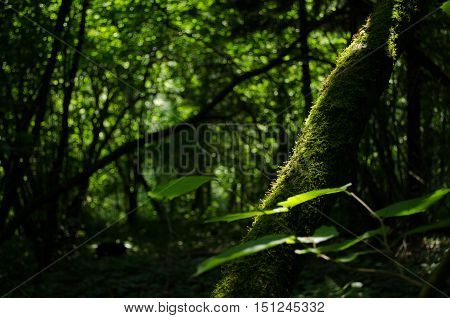 Old mossy linden tree in the shady summer forest