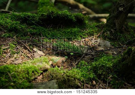 A little fir stick, which fell into a crevasse of the old mossy stump