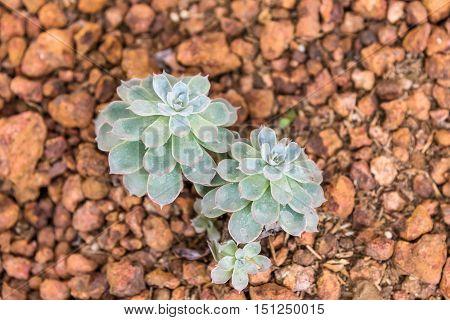 Green desert plant in a desert garden.