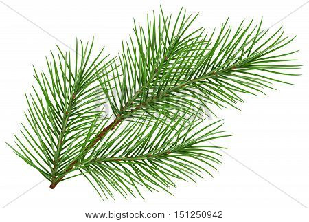 Green fluffy pine branch symbol of new year. Isolated on white background. Illustration in vector format