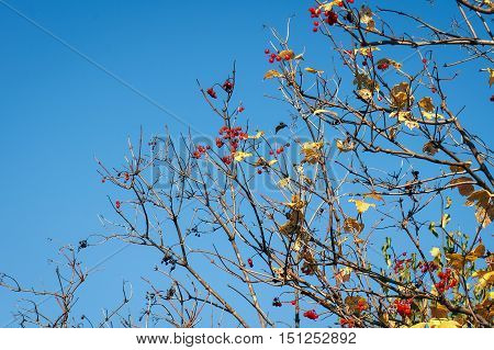 Dry twigs with ripe berries and yellow leaves on blue sky background. Autumn landscape