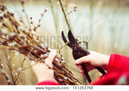 The Gardener Cuts The Branches Of Trees In The Garden. Pruning T