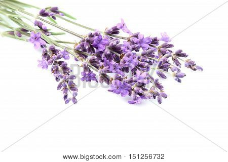 Fresh lavender flowers isolated on white background close-up.