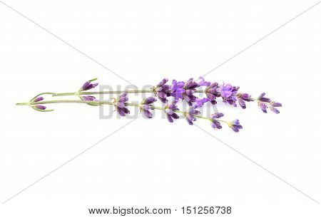 Branch of fresh lavender isolated on a white background.