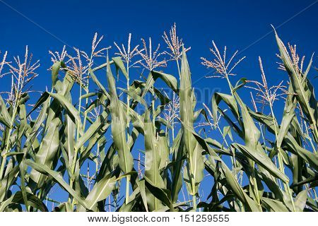 a corn field in summer with blue sky